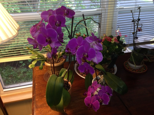 Katie's Orchids - 11 months out, still blooming