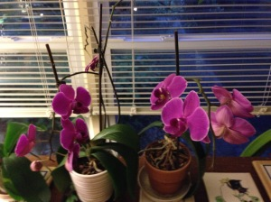 Katie's orchids still blooming