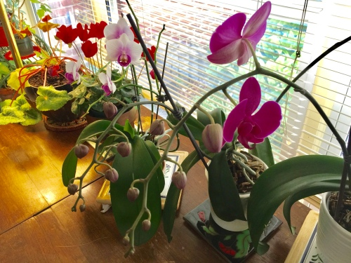 Katie's Orchids Blooming on Mother's Day 2017