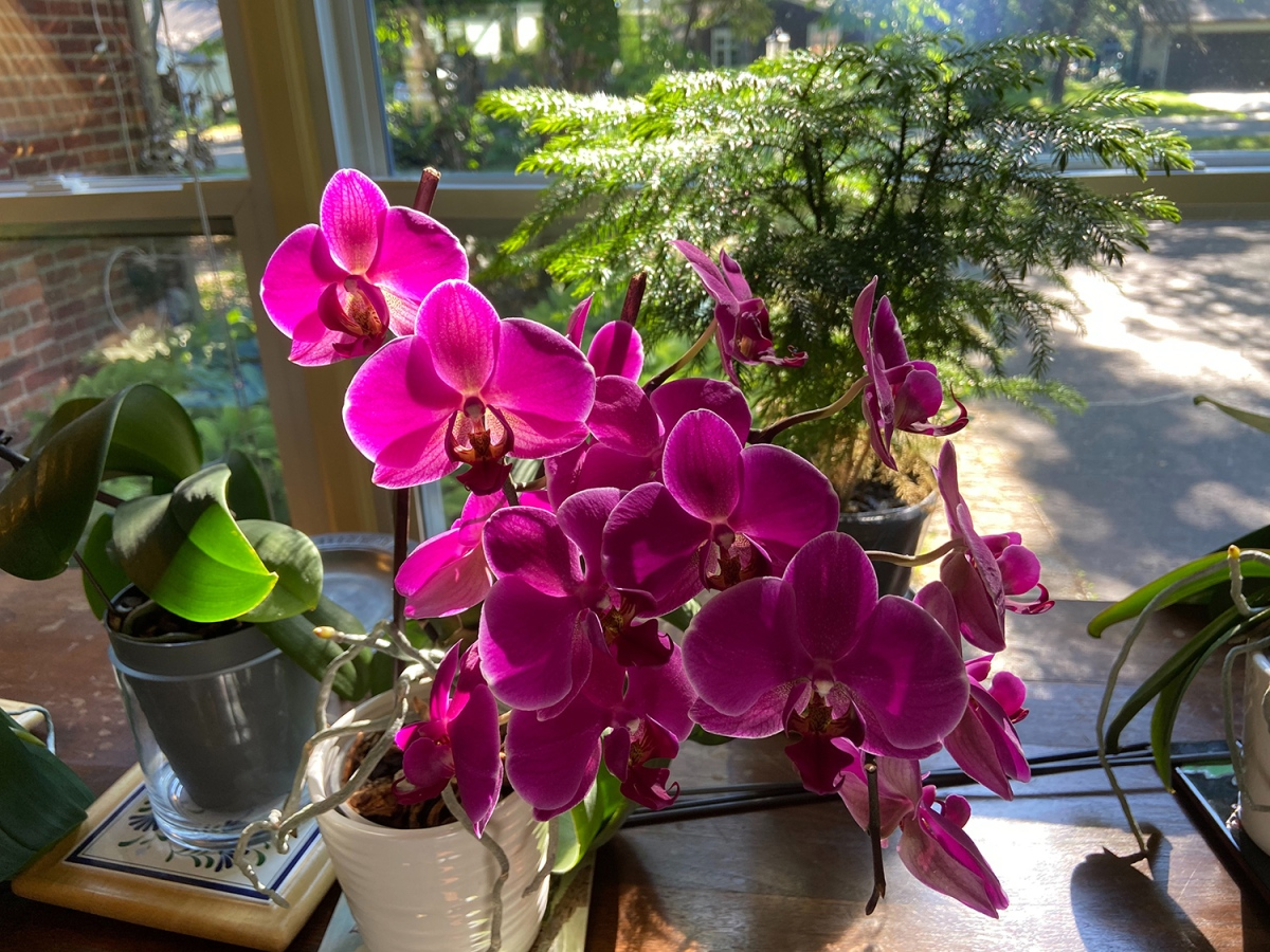 Birthday Orchid